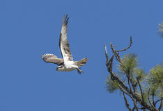 Osprey takes off from branch. Royalty Free Stock Photo