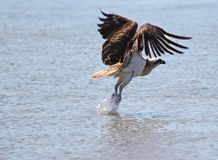 An Osprey takes off from a tidal pool Royalty Free Stock Photography