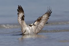 Osprey taking flight from the Gulf of Mexico - St. Petersburg, F. Osprey Pandion haliaetus taking flight from the Gulf of Mexico - St. Petersburg, Florida Royalty Free Stock Images