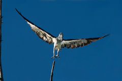 Osprey Taking Off Stock Images