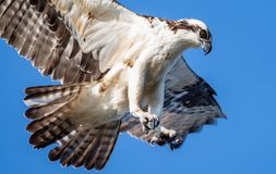 Osprey Fishing with Talons. Osprey with talons out looking for Fish royalty free stock images