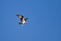 Osprey with talons stretched, prepares for a kill Royalty Free Stock Images