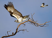 Osprey Threatened By Mockingbird Royalty Free Stock Photos