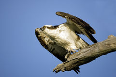 Osprey about to take flight. An Osprey perched in a tree about to take flight Royalty Free Stock Images