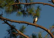 Osprey In Tree. Osprey in Pine Tree at Boca Ciega millinum Park, Seminole Fl Royalty Free Stock Image