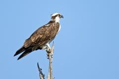 Osprey on tree branch Royalty Free Stock Photography
