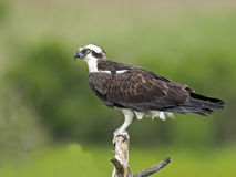Osprey on tree branch Royalty Free Stock Photo