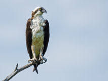 Osprey on tree branch Royalty Free Stock Image