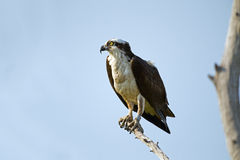 Osprey on tree branch Stock Images