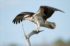Osprey on tree branch wings spread Stock Photo