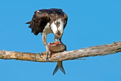 Osprey. In Tree Eating A Fish Royalty Free Stock Photo