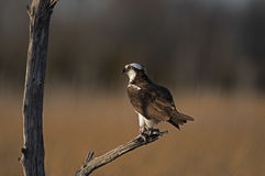 Osprey in Tree with Fish Royalty Free Stock Image