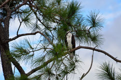 Osprey in tree in Florida Royalty Free Stock Image