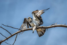 Osprey in a tree holding a fish in talons Stock Photos