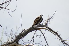 Osprey in a Tree royalty free stock photography