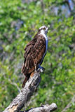 Osprey on a Tree Limb Royalty Free Stock Images