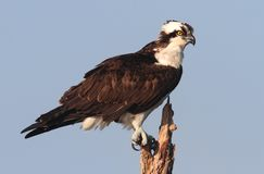 Osprey In A Tree Stock Images