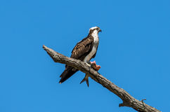 Osprey in a tree with a Rockfish over the Chesapeake Bay Stock Image