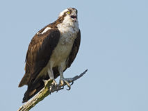 Osprey in Tree Stock Photos