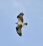 Osprey with Trout Royalty Free Stock Images