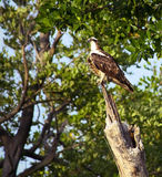 Osprey on trunk in the forest Royalty Free Stock Photo