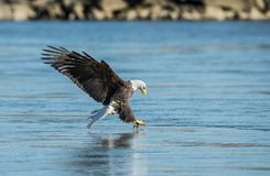 Bald Eagle fishing in water royalty free stock photo