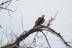 Osprey in un albero fotografia stock libera da diritti