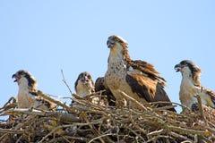 Osprey und Küken Lizenzfreies Stockfoto