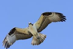 Osprey in volo Fotografia Stock