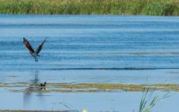Osprey water walking Royalty Free Stock Image