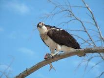 Osprey, in the wild. Wild Osprey feeding on fish. Florida, Lovers Key.Gulf Royalty Free Stock Image