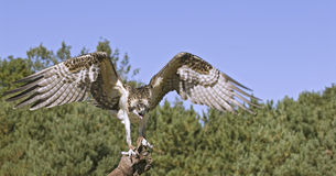 Osprey with wings spread. Osprey on falconer's glove Royalty Free Stock Photos