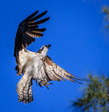 Osprey with wings spread, looking up, talons open. Searching for a branch for a perch royalty free stock images