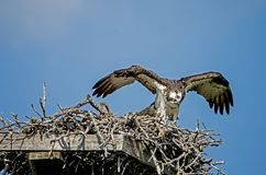 Osprey with wings spread over her nest with chicks. royalty free stock photo