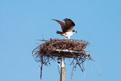 Osprey Wingspread. Florida Osprey on nest with wings spread against blue sky Royalty Free Stock Photography