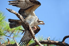 Osprey witih Mackerel Flapping Wings Royalty Free Stock Image