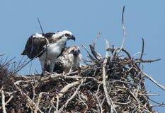 Osprey y polluelo Foto de archivo