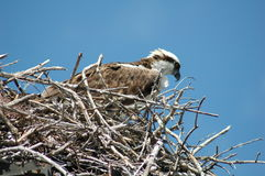 Osprey1 Royalty Free Stock Photography