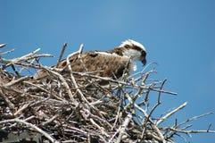 osprey1 Стоковая Фотография RF