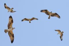 Ospreyfamilie Lizenzfreie Stockfotografie