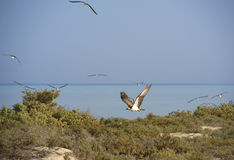 Ospreyflugwesen über Büschen Lizenzfreie Stockbilder