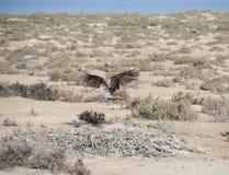 Ospreyflugwesen über Büschen Stockfoto