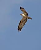 Ospreyflugwesen Stockfotos