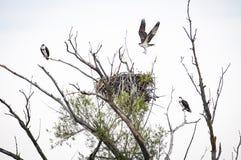 Ospreys που σκαρφαλώνει κοντά στη φωλιά τους σε ένα νεκρό δέντρο στοκ εικόνες με δικαίωμα ελεύθερης χρήσης