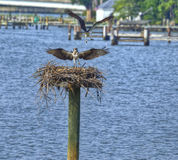 Ospreys στον ποταμό μιλι'ων, Μέρυλαντ Στοκ εικόνα με δικαίωμα ελεύθερης χρήσης
