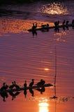 ospreys рыболовства готовые Стоковое Фото