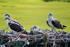 Ospreys Stock Images