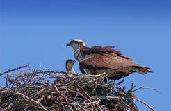 ospreys Стоковые Фото