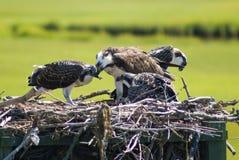 Ospreys (alimenter) Photographie stock libre de droits