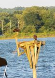 Ospreys auf dem Patuxent-Fluss in Maryland Stockbild